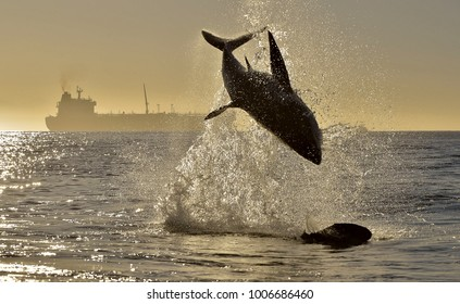 Silhouette of jumping Great White Shark on sunrise red sky background. (Carcharodon carcharias) breaching in an attack. Hunting of a Great White Shark (Carcharodon carcharias). South Africa
