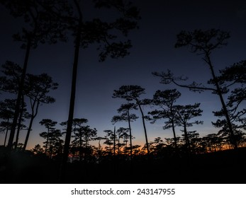 silhouette of Khasiya Pine forest in twilight time