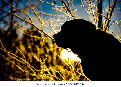 Silhouette of a Labrador Retriever in Finland. Bright and yellow sunlight in the background.