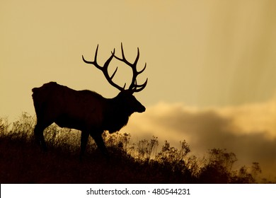 Silhouette of a large bull Elk in the Rocky Mountains of the American West at sunset a.k.a. Cervus canadensis, wapiti, stag
