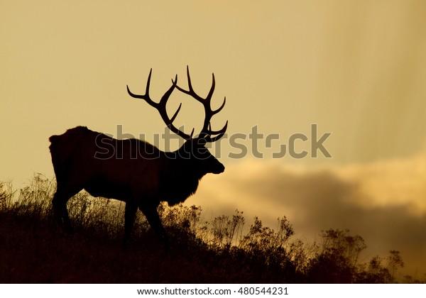 Silhouette d'un grand élan de taureau dans les Rocheuses de l'Ouest américain au coucher du soleil alias Cervus canadensis, wapiti, stag