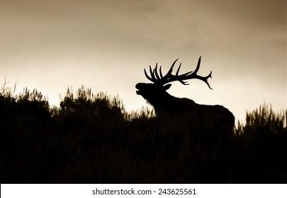 Silhouette of large bull elk stag bugling / calling in sage brush habitat, horizontal format Rocky Mountain Elk, Cervus canadensis