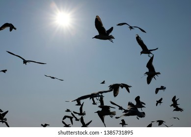 Silhouette of a large group of seagulls flying agaist the wind under the strong sun during their annual migration from Siberia in Bang Pu, Samut Prakan, Thailand.