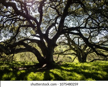 Silhouette of large old live oak tree with its numerous odd shaped branches