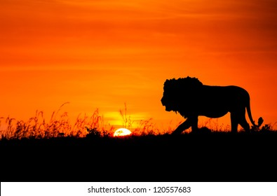 Silhouette of a lion against the African sunset
