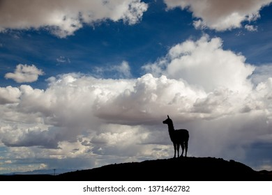 Silhouette of a Llama (Lama glama) Staring form top of a Hill at the Andes Mountains. At background Storm Sky. Llamas are Domesticated South American Camelids