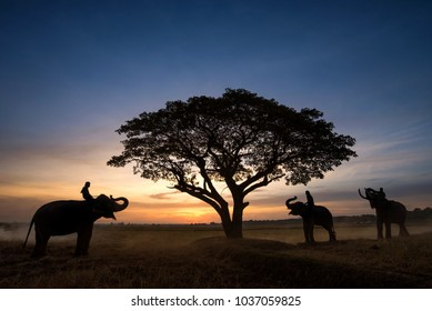Silhouette Mahout on Elephant with Sunrise Over the Field in Early Morning in Surin Province , Thailand