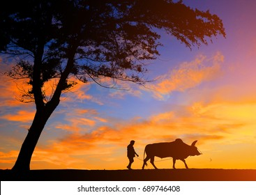 silhouette man with a cow walks on the beach in sunrise time