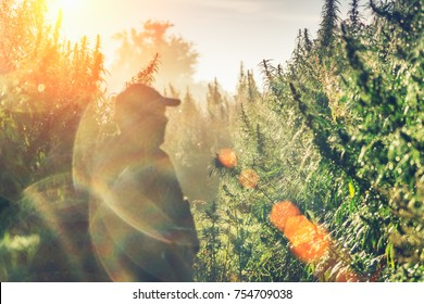 Silhouette of a man on a hemp field in sunlight