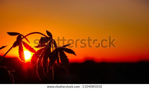 Silhouette marijuana, cannabis plantation in sunlight. Beautiful background in warm shades of setting sun. Fresh agricultural hemp cbd grows
