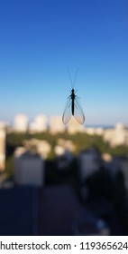 Silhouette of midge on window glass with blurred cityscape background and clear blue gradient sky. Small fly with big transparent wings and long antennas. Insect closeup.