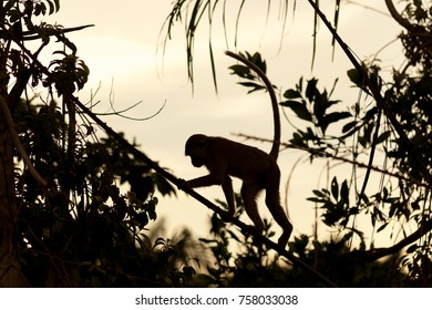 silhouette monkey climb on tree