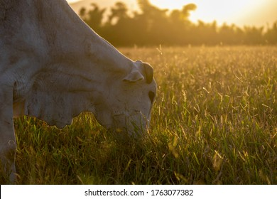 silhouette of Nellore cattle grazing, with sunset in the background. Nelore