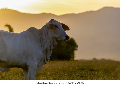 silhouette of nelore cattle at sunset at the end of the day