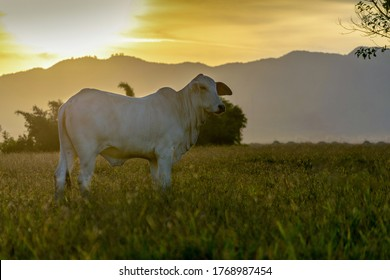 silhouette of nelore cattle at sunset at the end of the day. Nellore