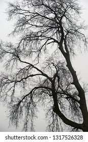Silhouette of an Old Growth Tree