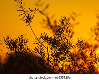 Silhouette of olive tree at sunset with orange sky