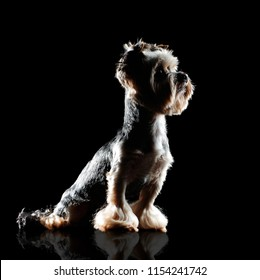 Silhouette on black of a sitting yorkie puppy