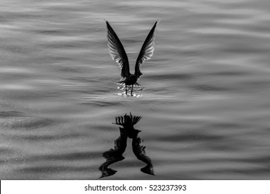 silhouette one seagull flying over the water with shadow reflection at golden sunset. grain texture photo and film style. black and white photo.