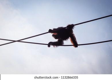 silhouette of orangutan walking across ropes