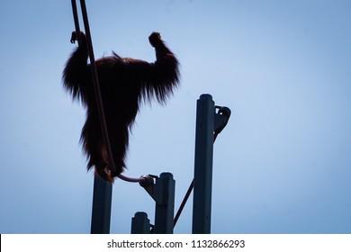 silhouette of orangutan walking on ropes