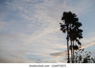 silhouette of palm tree.