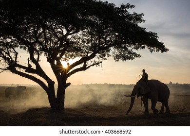 The silhouette of a person riding an elephant in a field near trees at the sunset time, Elephant village Thailand.