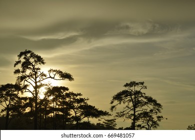 Silhouette pine with gold cloud in background