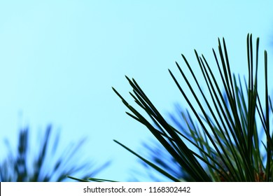 Silhouette of pine leaves