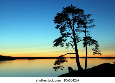 The silhouette of a pine tree on midsummer's eve in Scandinavia