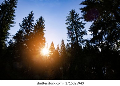 Silhouette of pine trees against blue sky.
