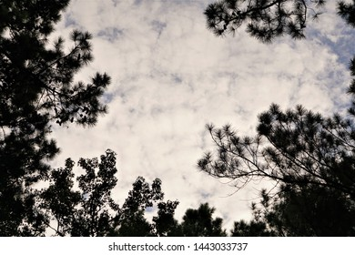 Silhouette of pine treetop against the cloudy sky before sunset time, Summer in GA USA.