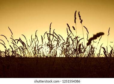 Silhouette of plants in contrast to sunset in the background.  Natural contrast at sundown in the countryside. Agricultural landscape. Horizon and loneliness. Sepia, ocher.