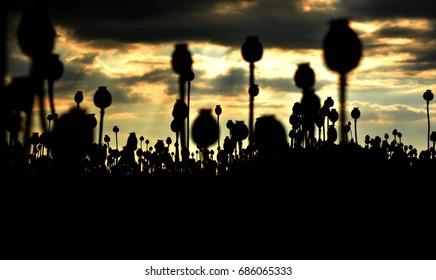 Silhouette poppy field