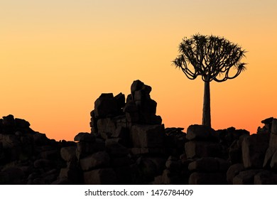 Silhouette of a quiver tree (Aloe dichotoma) and rocks at sunset, Namibia