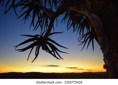 Silhouette of a quiver tree at sunset displaying the texture of the tree and bark as well as the silhouette of the branch and leaves taken in Keimoes South Africa Northern Province Kalahari