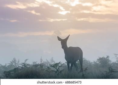 Silhouette of Red Deer (Cervus elaphus)  hind or female on a cold crisp morning on cloudy sunrise