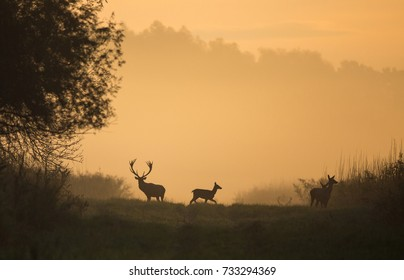 Silhouette of red deer and hinds on meadow in forest on foggy morning in autumn. Wildlife in natural habitat