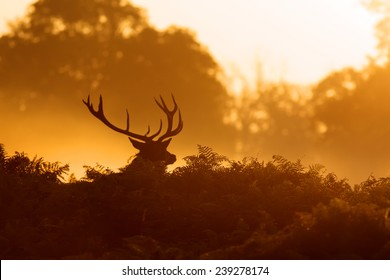 silhouette of a red deer stag in the morning mist