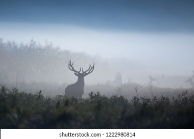 Silhouette in red deer standing in forest on foggy morning. Wildlife in natural habitat