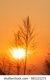Silhouette of reeds grass,on the background of the sunset.