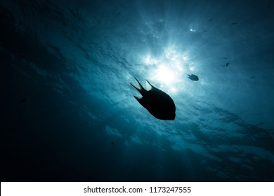 Silhouette of a reef fish at then of a dive in the Red Sea, Egypt