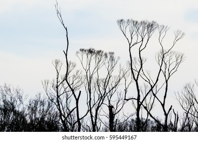 silhouette of remains of small trees with signs of regrowth in wake of bushfire, heavily clouded sky