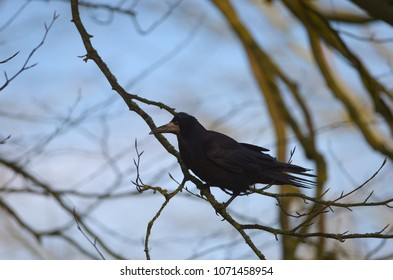 Silhouette of a rook bird sitting on a branch