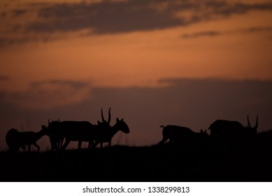 Silhouette of a saiga at sunset. Saiga tatarica is listed in the Red Book, Chyornye Zemli (Black Lands) Nature Reserve, Kalmykia region, Russia.
