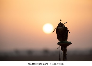 Silhouette of a Saker falcon with her eyes covered sitting on a perch in desert in front of a sunrise. Dubai, UAE.