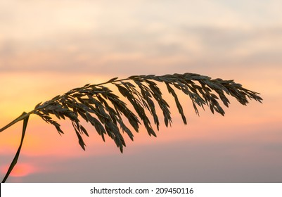 Silhouette of sea oats plant and leaves against the rising sun in South Florida beach