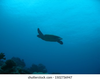 A silhouette of a sea turtle swimming in the Red Sea