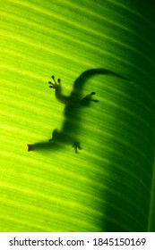 Silhouette of a Seychelles small day gecko