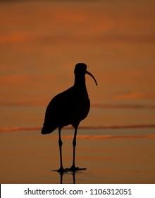 Silhouette of Shorebird at sunset on California Beach